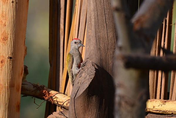 Graukopfspecht, Grey Woodpecker, Dendropicos goertae ♂