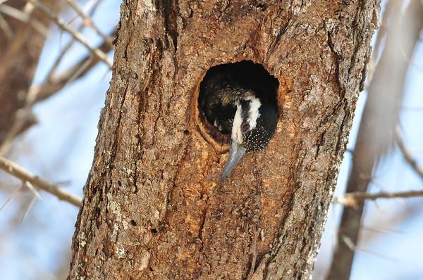 Namaspecht, Bearded Woodpecker, Dendropicos namaquus ♀