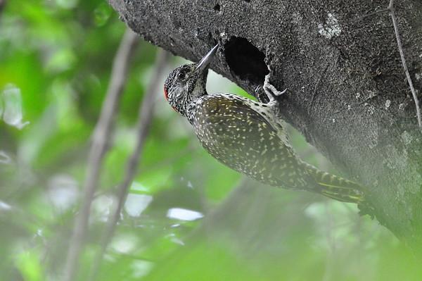 Nubierspecht, Nubian Woodpecker, Campethera nubica ♀
