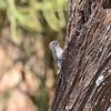 Kardinalspecht, Cardinal Woodpecker, Dendropicos fuscenscens ♂