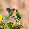 Pfirsichköpfchen, Fischer's Lovebird, Agapornis fischeri