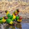 HYBRID Schwarzköpfchen, Yellow-collared Lovebird, Agapornis personatus X Pfirsichköpfchen, Fischer's Lovebird, Agapornis fischeri