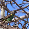 Meyer's Parrot, Goldbugpapagei, Poicephalus meyeri