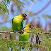 Schwarzköpfchen, Yellow-collared Lovebird, Agapornis personatus