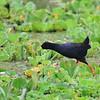 Black Crake,  Schwarzkielralle,   Amaurornis flavirostra