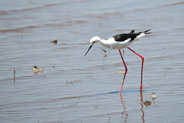 Black-winged Stilt, 	Stelzenläufer	,   Himantopus himantopus