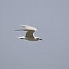 Lach-Seeschwalbe, Gull-billed tern, Sterna nilotica