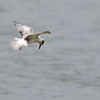 Weißflügel-Seeschwalbe, White-winged tern, Chlidonias leucopterus