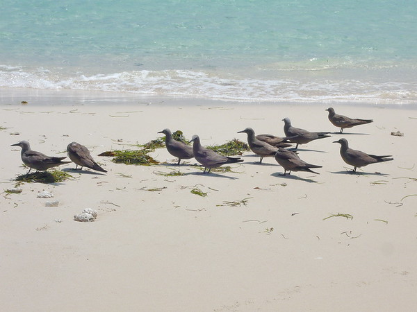 Brown Noddy, Noddi, Anous stolidos