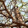 Blassuhu, Verreaux's Eagle-Owl, Bubo lacteus