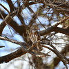 Pearl-spotted Owlet,Perlzwergkauz,Glaucidium perlatum
