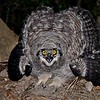 Spotted Eagle Owl,Fleckenuhu,   Bubo africanus