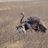 Strauss, Common Ostrich, Struthio camelus ♀