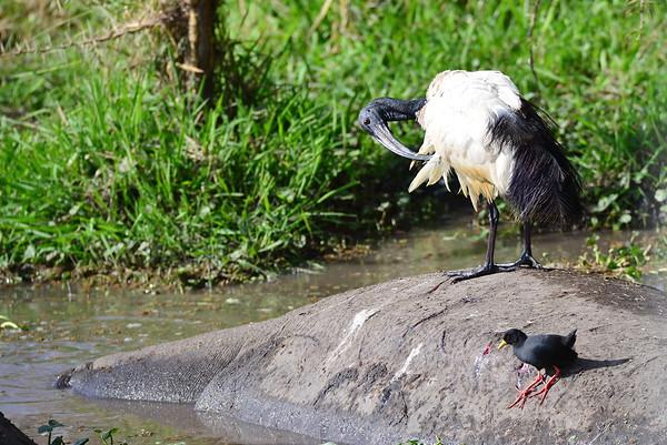 Heiliger Ibis, Sacred Ibis, Threskiornis aethiopicus