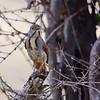Collared Palm-Thrush, Morgenrötel, Cichladusa arquata