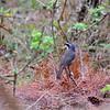 Cape Robin-Chat, Kaprötel,  Cossypha caffra