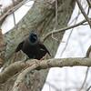 Chirping Grackle on Tree Limb