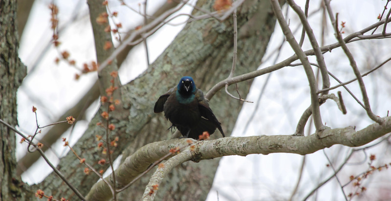 Common Grackle Chirping