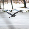 Great Blue Heron in Winter at Jacobson Park, Lexington, KY