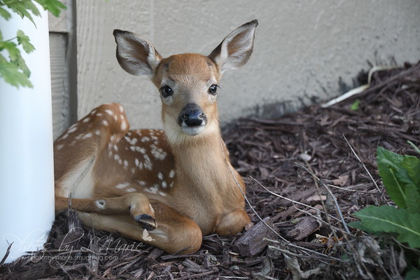 Newborn Fawn