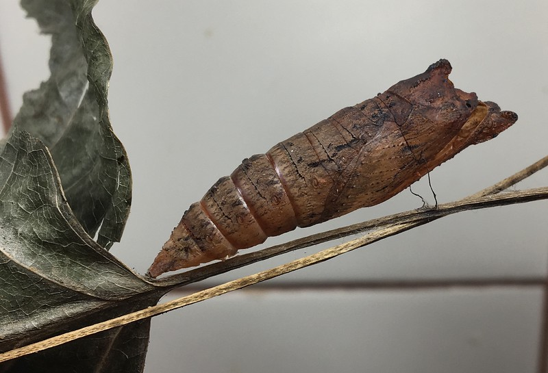 It's out!  17 days after chrysalis <br /> Eastern Tiger Swallowtail chrysalis (female) <br /> Tulip tree leaves <br /> 2019-07-13