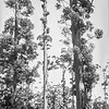 Glocester Tree