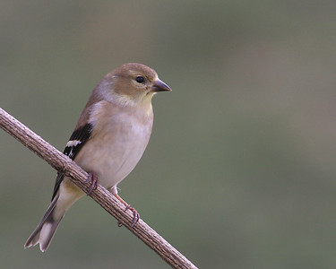 American Goldfinch in Backyard - Jan 2010