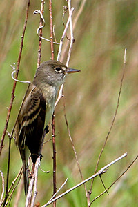 Alder Flycatcher @ Oak Openings - May 2010