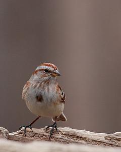 American Tree Sparrow @ Highbanks Metro Parks - Winter 2009
