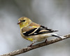 American Goldfinch @ Home - April 2011