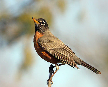 American Robin @ Home - April 2011