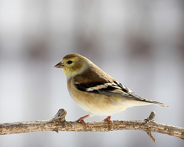 American Goldfinch in Backyard - Feb 2010