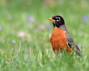 American Robin @ Home