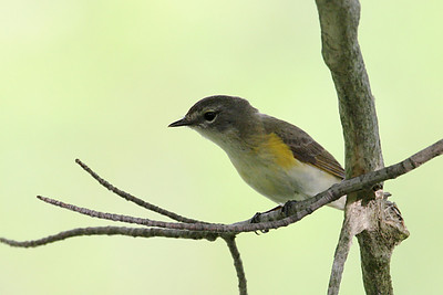 American Redstart @ Magee Marsh WA, May 2010