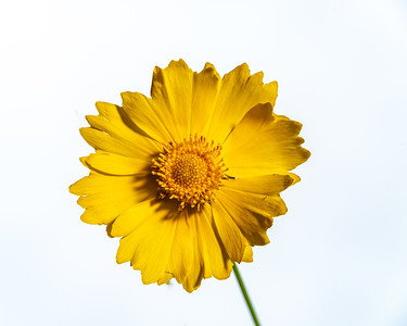 Yellow Daisy in Color 106.2132