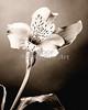 Soft Sepia Lily FLower 6005.01