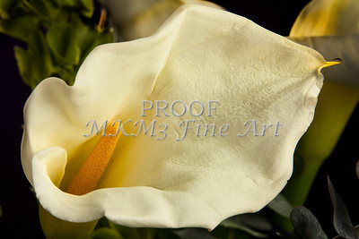 Lilly Bloom Canvas Print 8018.02