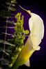 Canvas Print Lily Flower Plant 8007.02
