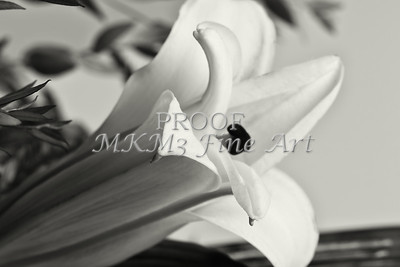 Black and White Easter Lilly 8019.02
