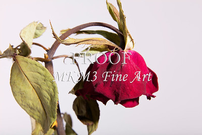 Faded Love Wilted Rose on White Wall Art 2