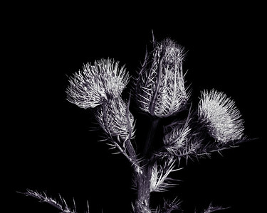 Thistle Wild flower in Black and White 212.2128