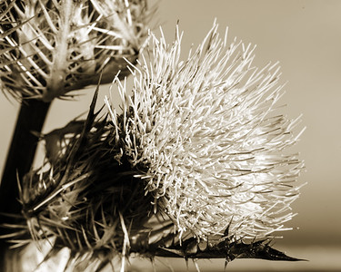 Thistle Wild flower in Black and White 203.2128