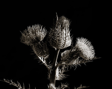 Thistle Wild flower in Black and White 211.2128