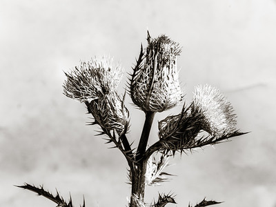 Thistle Wild flower in Black and White 206.2128