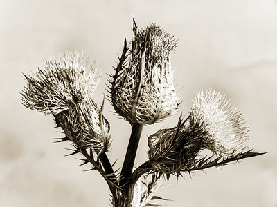 Thistle Wild flower in Black and White 205.2128