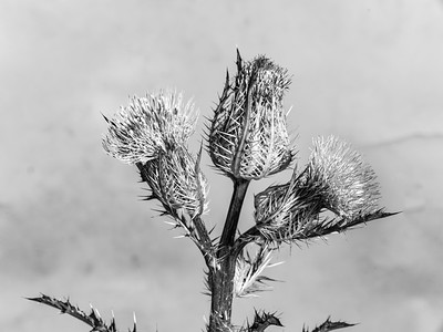 Thistle Wild flower in Black and White 207.2128