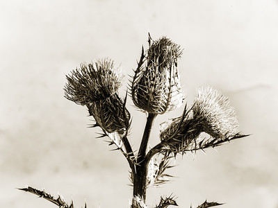 Thistle Wild flower in Black and White 208.2128