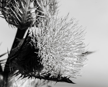 Thistle Wild flower in Black and White 201.2128