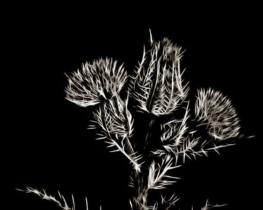 Thistle Wild flower in Black and White 217.2128