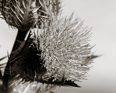 Thistle Wild flower in Black and White 200.2128